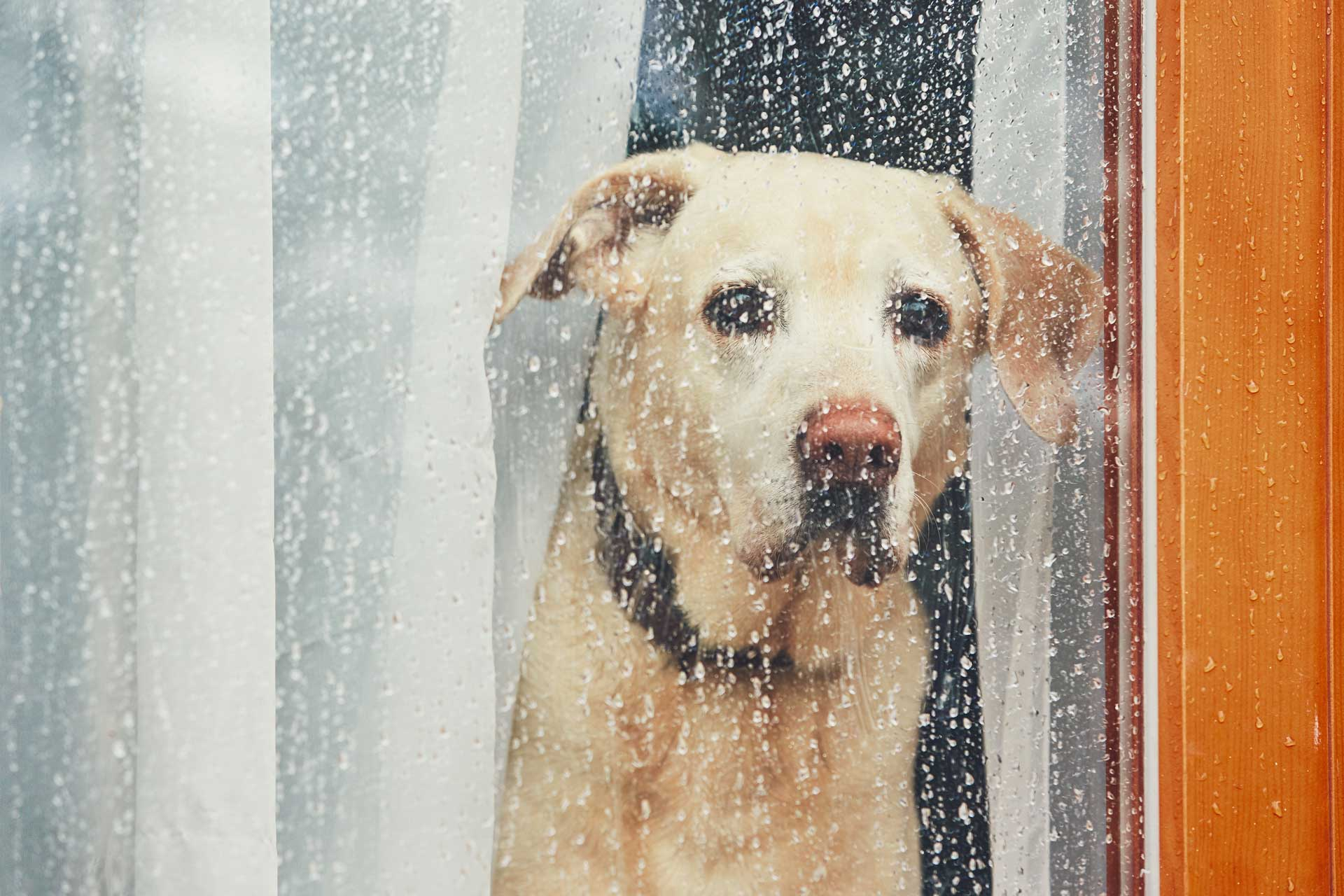 image of puppy stuck indoors due to rainy weather - impact on carpets